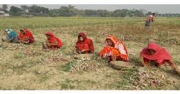 ফরিদপুরে মুড়িকাটা পিয়াজের বাম্পার ফলন