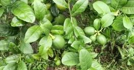 সিডলেস লেবু চাষে লাখোপতি বোয়ালমারীর শহিদুল