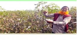 বালিয়াকান্দির কৃষকরা তুলা চাষে আগ্রহী হচ্ছে